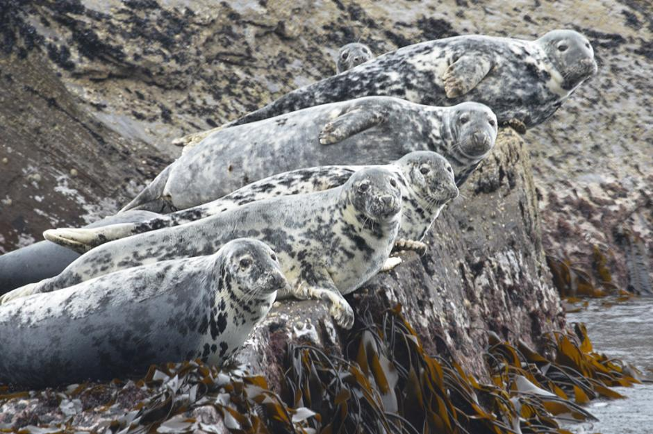 Grey seals on Stag Rocks
